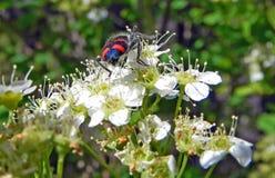 Красивый черный жук с яркими красными нашивками на белом цветке Стоковое Изображение