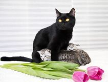 Красивый черный кот с котятами Стоковое Изображение