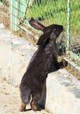 Красивый черный кролик Стоковые Изображения