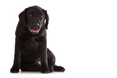 Красивый черный Лабрадор Стоковая Фотография