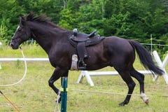 Красивый черный скакать лошади Стоковые Фото