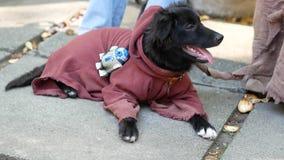 Красивый черный щенок в костюме Jedi видеоматериал