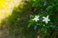 Красивый чувствительный белый цветок жасмина звезды в весеннем сезоне на ботаническом саде Стоковая Фотография