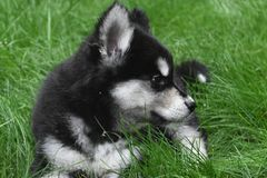 Красивый щенок сибирской лайки отдыхая в траве стоковые изображения rf