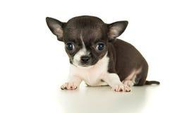 Красивый щенок чихуахуа стоковая фотография