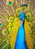 Красивый экзотический павлин стоковые изображения rf