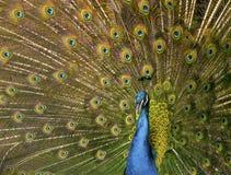 Красивый экзотический павлин стоковые фотографии rf