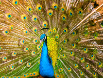 Красивый экзотический павлин стоковое изображение