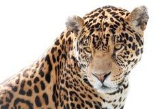 Красивый ягуар Стоковые Изображения RF