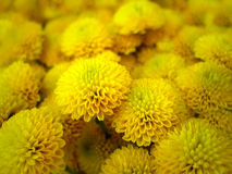 Красивый яркий желтый конец-вверх цветка георгина (цветка долины) Стоковое фото RF