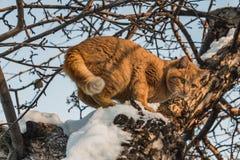Красивый яркий красный кот с желтыми глазами и розовым носом на дереве с белым снегом и заморозке в зиме стоковые фото