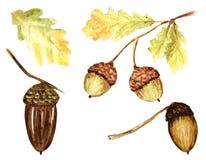 Красивый яркий набор цветов листьев, ветвей и жолудей дуба осени r иллюстрация вектора