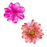 Красивый яркий розовый и красный цветок Изолированный дальше Стоковые Изображения RF