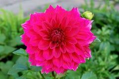 Красивый яркий розовый цветок георгина стоковая фотография rf
