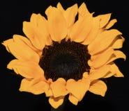 Красивый яркий цветок солнцецвета желтого цвета макроса крупного плана стоковые фото