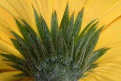 Красивый яркий цветок солнцецвета желтого цвета макроса крупного плана стоковое изображение