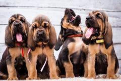 Красивый Bloodhound щенят на светлой предпосылке Стоковая Фотография RF