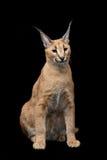 Красивый caracal рысь над черной предпосылкой Стоковые Изображения