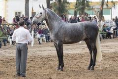 Красивый dapple серая испанская лошадь Стоковое Изображение