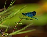 Красивый Demoiselle, virgo Calopteryx стоковая фотография
