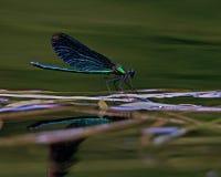 Красивый Demoiselle, virgo Calopteryx Стоковое Изображение RF
