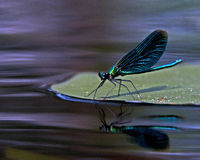 Красивый Demoiselle, virgo Calopteryx Стоковые Изображения RF
