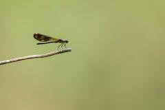 Красивый dragonfly отдыхая на ветви Стоковое Изображение