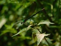 Красивый dragonfly сидя на лист Стоковые Изображения RF