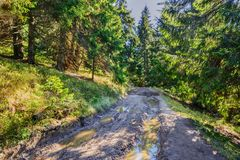 Красивый fairy старый сосновый лес в раннем утре в солнечном свете II Стоковые Изображения RF