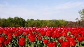 Красивый flowerbed с красными тюльпанами, Голландия акции видеоматериалы