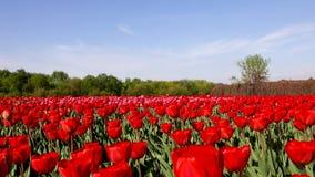 Красивый flowerbed с красными тюльпанами, Голландия видеоматериал