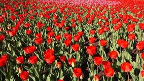 Красивый flowerbed с красными тюльпанами, Голландия сток-видео