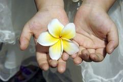 Красивый frangipani Стоковое фото RF