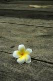 Красивый frangipani Стоковое Изображение RF
