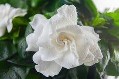 Красивый gardenia белого цветка на зеленой предпосылке Стоковая Фотография RF