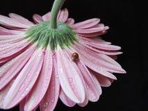 Красивый gerbera с ladybug Стоковая Фотография