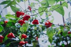 Красивый habanero красного перца на ветви Стоковые Изображения