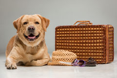 Красивый labrador с чемоданом Стоковое Изображение