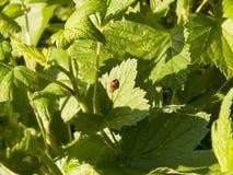 Красивый ladybug на зеленой траве против предпосылки голубые облака field wispy неба природы зеленого цвета травы белое Стоковая Фотография