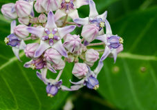 Красивый Milkweed, исполинское Swallowwort Стоковая Фотография RF