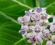 Красивый Milkweed, исполинское Swallowwort Стоковые Фотографии RF