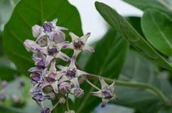 Красивый Milkweed, исполинское Swallowwort Стоковое фото RF