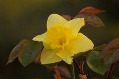 Красивый narcissus между листьями роз Стоковое Изображение RF