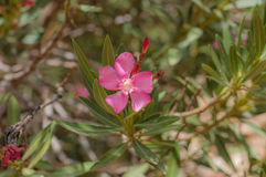 Красивый pinky цветок в лесе Стоковые Фотографии RF