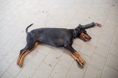 Красивый pinscher doberman утомлянный от работы Стоковые Фотографии RF