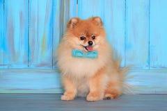 Красивый pomeranian щенок сидит около деревянной стены в голубой бабочке стоковое фото