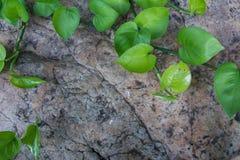 Красивый pothos на камне Стоковое Изображение RF