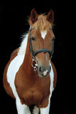 Красивый skewbald портрет пони welsh Стоковые Фото