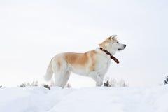 Красивый statuesque японец Акита Inu собаки стоит в профиле в снежном лесе Стоковая Фотография RF