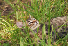Красивый striped играя и охотясь котенок неизвестной породы в траве на открытом воздухе Стоковое Фото